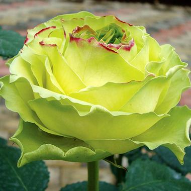 Roses, Wimbledon (125 stems)