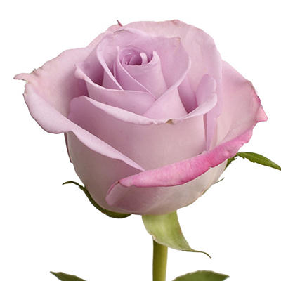 Roses - Purple Haze - 125 Stems