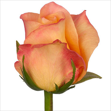 Roses - Geisha - 100 Stems