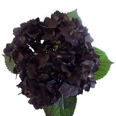 Hydrangeas - Hand Painted Black - 26 Stems