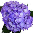 Hydrangeas - Purple - 26 Stems