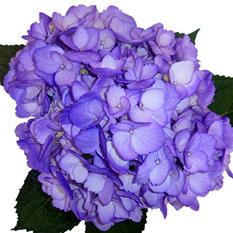 Hydrangeas - Hand Painted Purple - 26 Stems