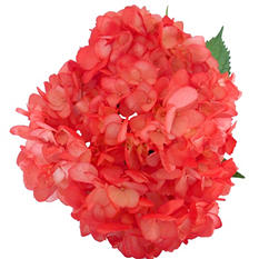 Hydrangeas - Hand Painted Red - 26 Stems