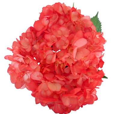 Hydrangeas - Red - 26 Stems