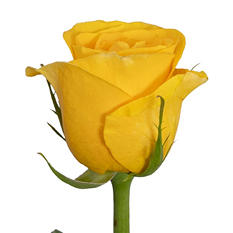 Roses - Yellow - 100 Stems