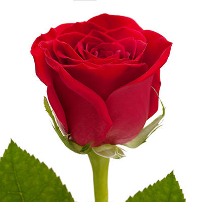 Roses - Red - 125 Stems