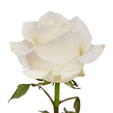 Bulk Basic 45-50cm Roses, White  (125 Stems)