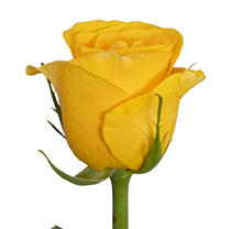 Roses - Yellow - 125 Stems