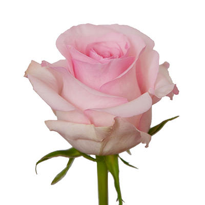 Roses - Light Pink - 125 Stems