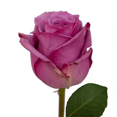 Roses - Lavender (125 stems)
