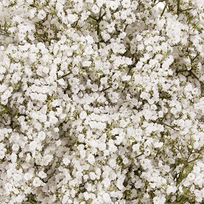 Premium Million Star Gypsophila - 10 Bunches