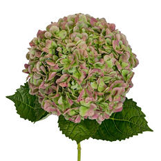 Jumbo Hydrangeas - Antique Green - 12 Stems