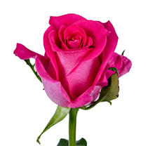Roses - Hot Pink - 100 Stems