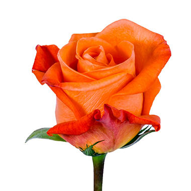 Roses - Orange - 100 Stems