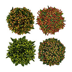 Premium Assorted 70cm Hypericum - 120 Stems
