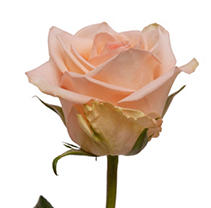 Roses - Peach - 100 Stems