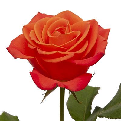 Roses - Orange - 125 Stems