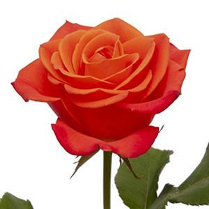 Roses - Orange (125 stems)