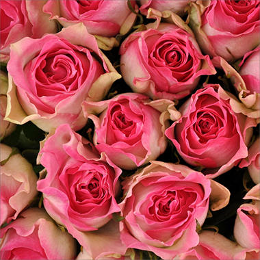 Roses - White & Pink - 100 Stems