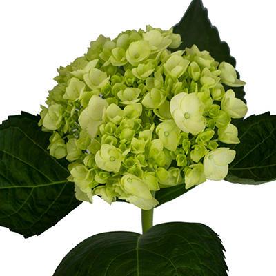 Baby Hydrangeas - Green - 40 Stems
