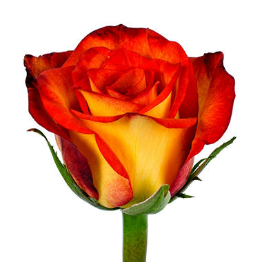Roses - Bicolor Yellow & Red - 100 Stems