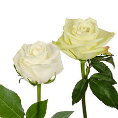 Roses - Green & White - 125 Stems