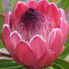 Protea Red Ice (25 stems)