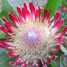 Protea Holiday Red (25 stems)