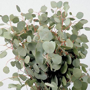 Eucalyptus Silver Dollar 60 Stems Sam S Club