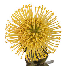 Protea Pin Cushion Yellow, Leuocspermum (24 stems)