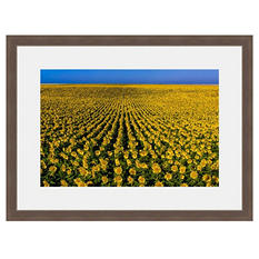Framed Fine Art Photography - Endless Sunflowers By Blaine Harrington