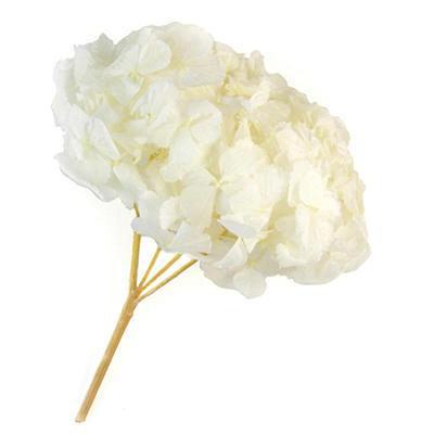 Preserved Hydrangeas - White - 45 Stems