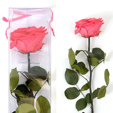Premium Preserved Amorosa Single Stem Rose - Hot Pink - 1 each