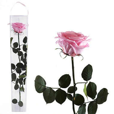 Premium Preserved Amorosa Single Stem Rose - Light Pink - 1 each