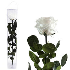 Premium Preserved Amorosa Single Stem Rose - White - 1 each