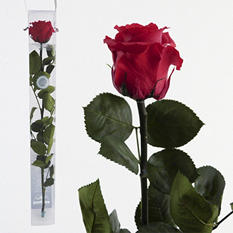 Standard Preserved Amorosa Rose - Hot Pink - 1 each