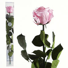Standard Preserved Amorosa Rose - Light Pink - 1 each