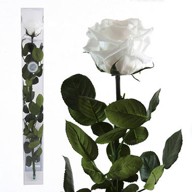 Standard Preserved Amorosa Rose - White - 1 each