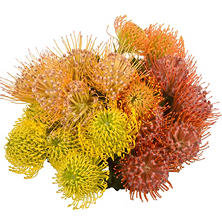 Pin Cushion Protea - 25 Stems