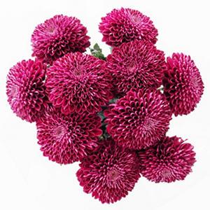 Purple Bon Bon Disbuds (60 stems)