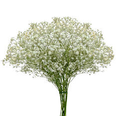 Gypsophila Tinted - Gold (Choose Stem Count)
