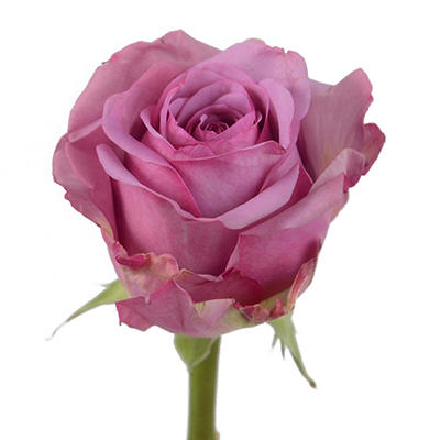 Roses - Cool Water - 100 Stems