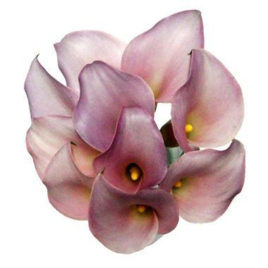 Mini Calla Lily - Lavender - 100 Stems