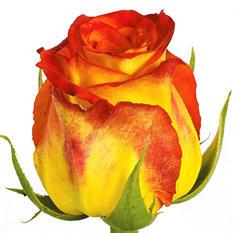 Roses - Circus - 100 Stems