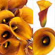 Mini Calla Lily - Orange - 100 Stems