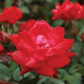 (10-Qt) Rose Shrub Pot - Southwestern Gardening