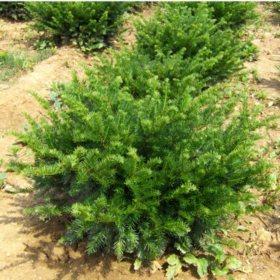 (10-Qt) Densiformis Yew Pot - Southwestern Gardening