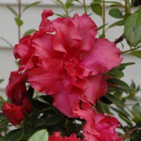 (10-Qt) Azalea Repeat Blooming Pot - Southwestern Gardening