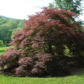 (24-Qt) Japanese Maple Pot - Southwestern Gardening