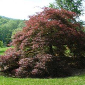 (24-Qt) Japanese Maple Pot - Southwestern Gardening
